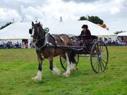 Shire horse pulling a ladies cart
