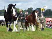 Shire and Clydesdale Horses in hand